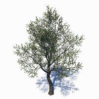 3D eucalyptus tree model