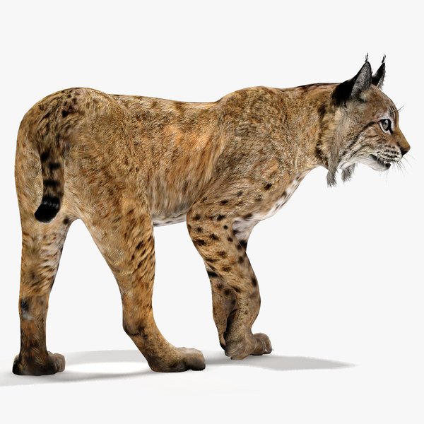 3D model bobcat rigging