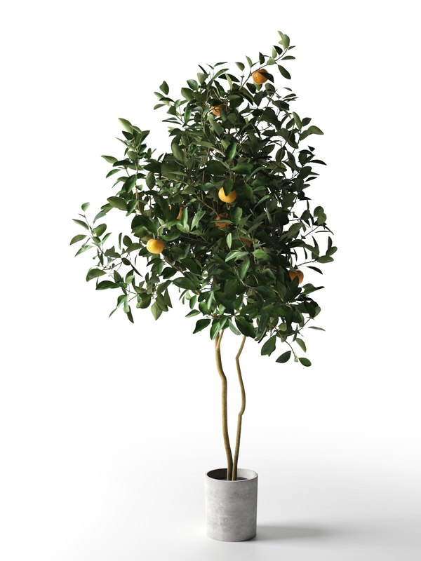 citrus tree pot 3 3D