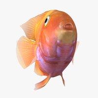 3D blood parrot cichlid animation model