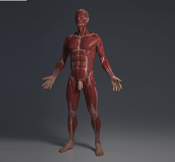 3D ecorche - human anatomy model