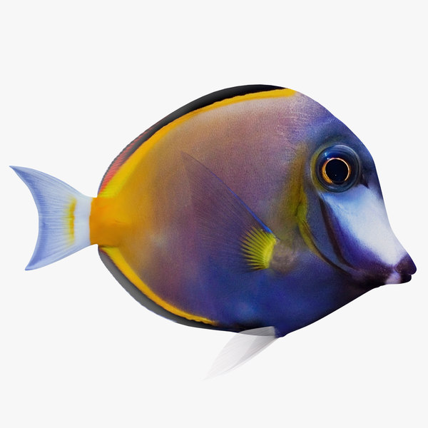 3D blue tang animation model