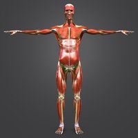 Muscles and  Skeleton and Lymphnodes with Natural body