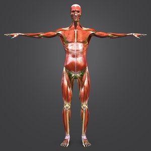 3D model body muscles lymph skeleton