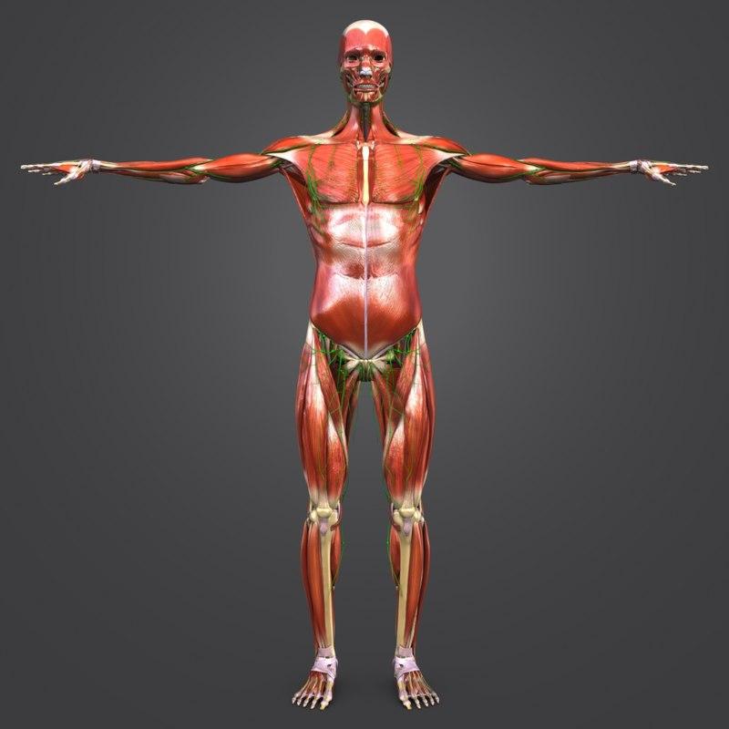 3D model body muscles lymph skeleton