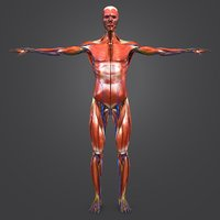 3D body natural skin muscles