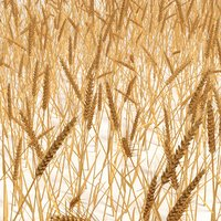 wheat field model