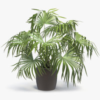 3D chinese fan palm model