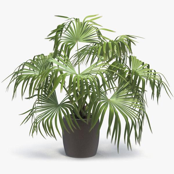 3D chinese fan palm model