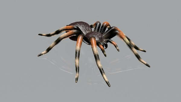 spider-tarantula theraphosidae spider model