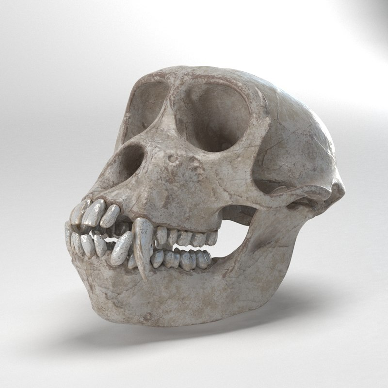 gibbon skull 3D model