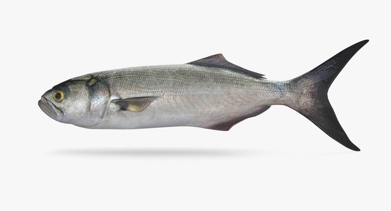 bluefish pbr 3D model