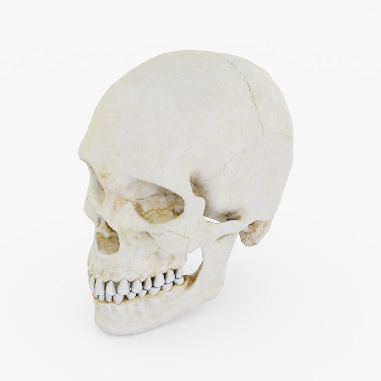 3D model human skull man