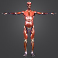 3D model body natural muscles veins