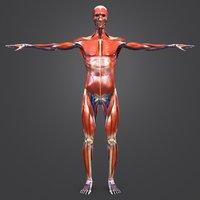 3D model body natural muscles veins