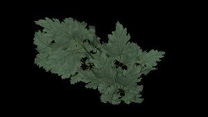coriandre coriander 3D model