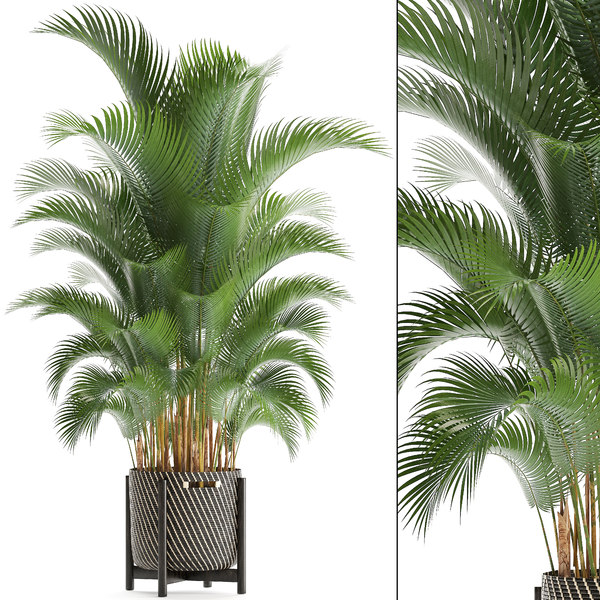 3D howea palms