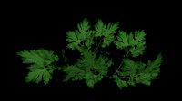 3D persil parsley