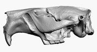 beaver skull raw scan model