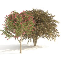 3D callistemon plants