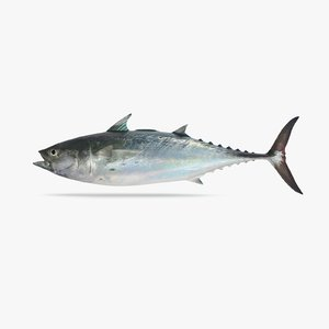 false albacore tuna 3D model