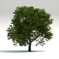 3D old beech tree