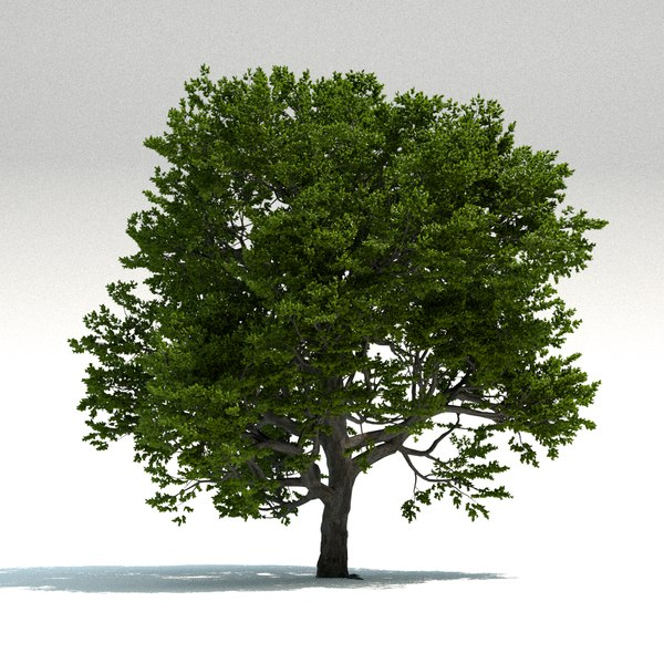 3D old beech tree