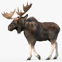 adult moose fur 3D model