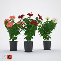 hibiscus chinese rose model