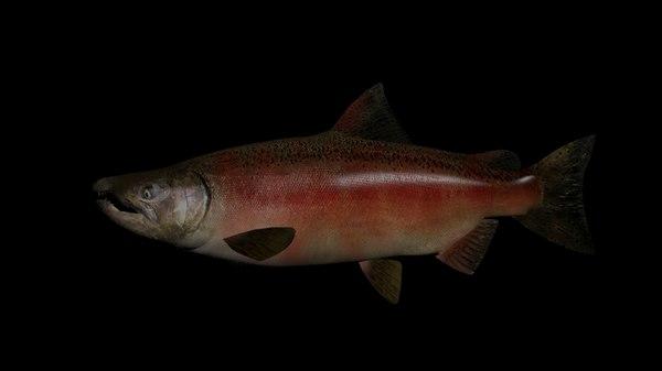 chinook salmon 3D
