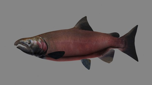 3D coho salmon model