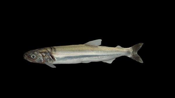 3D model eulachon aka candlefish fish