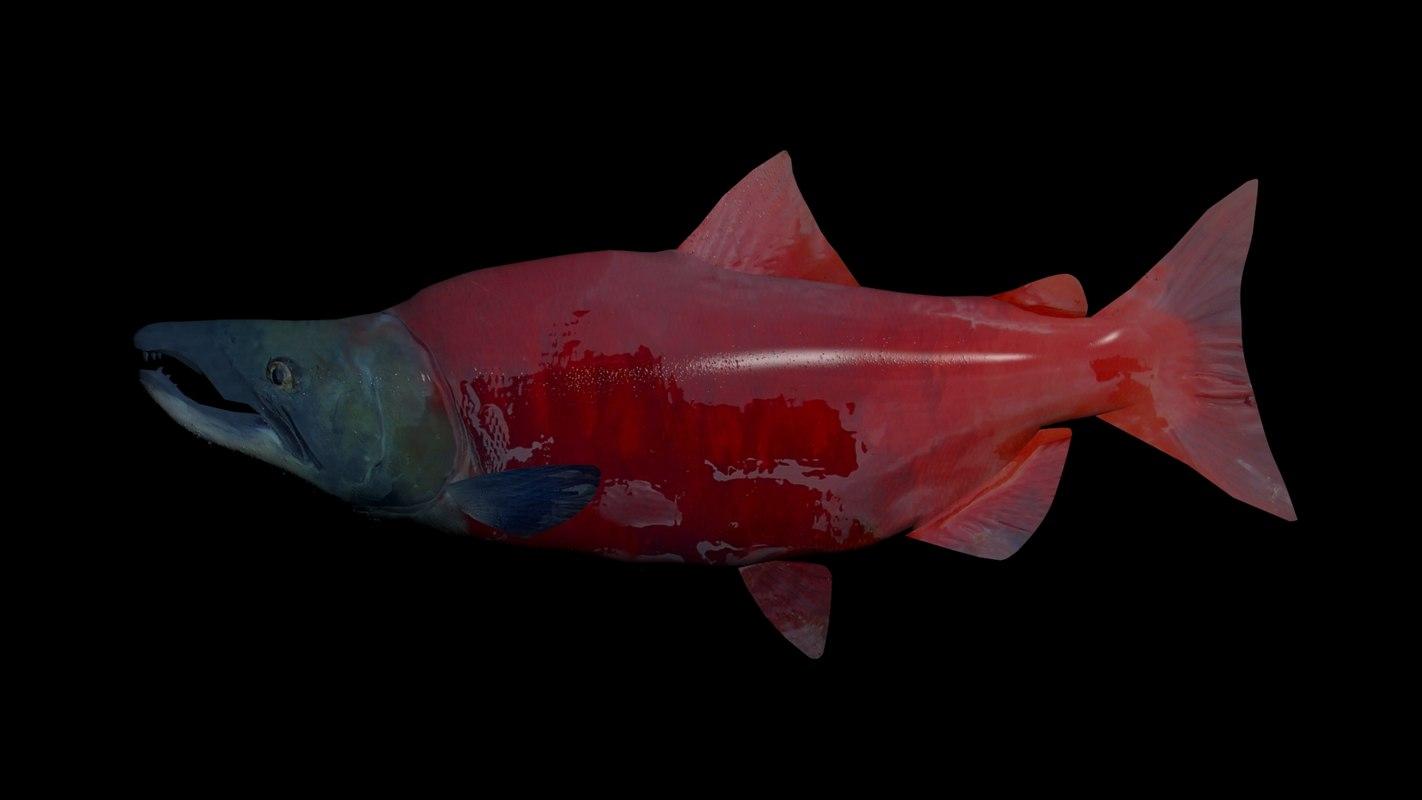 sockeye salmon 3D