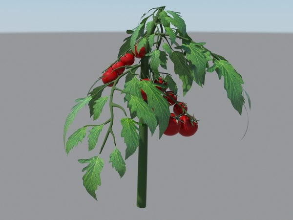 3D tomatoes plant