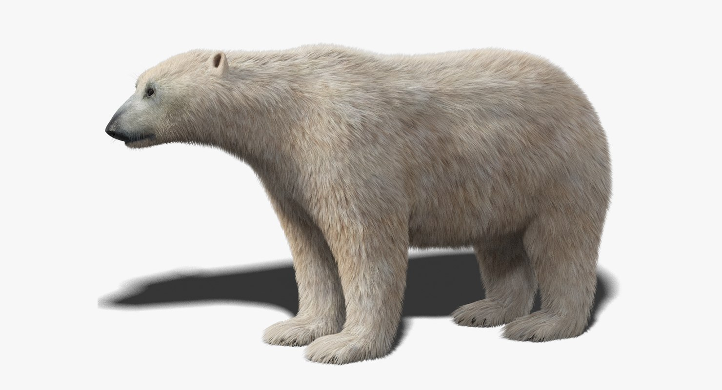 polar bear fur 3D model