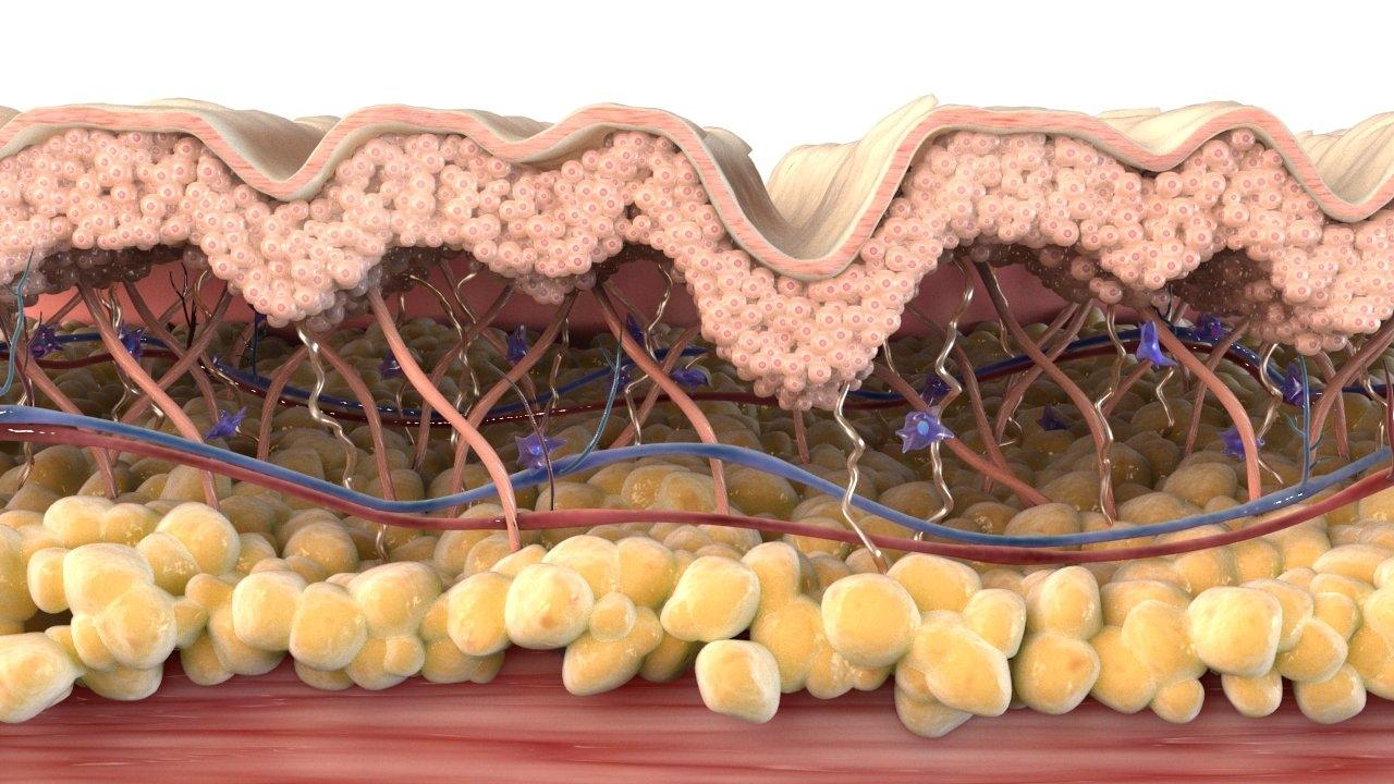 skin cross section wrinkled 3D model