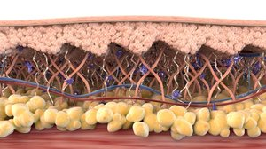 skin cross section healthy 3D model