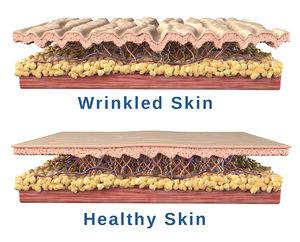 skin cross section 3D model
