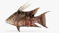 hogfish fish 3D model