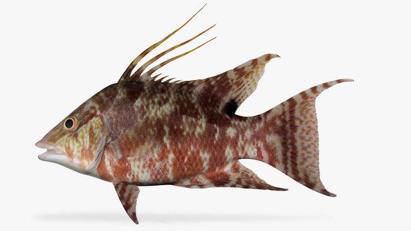 hogfish fish 3D model