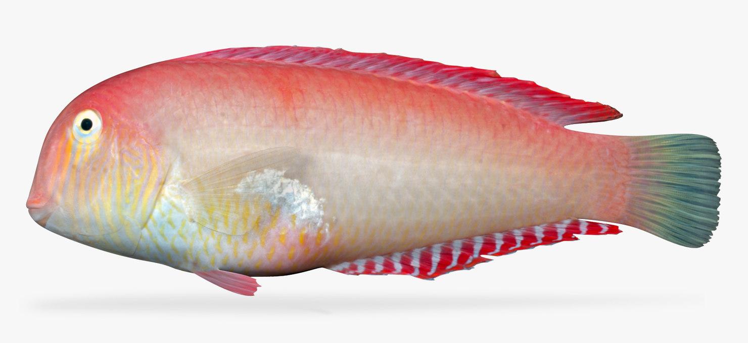 3D pearly razorfish