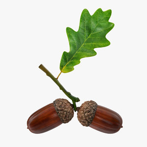 oak branch acorns model