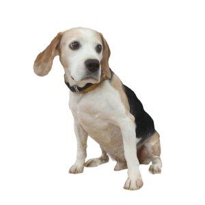 cute beagle 3D model