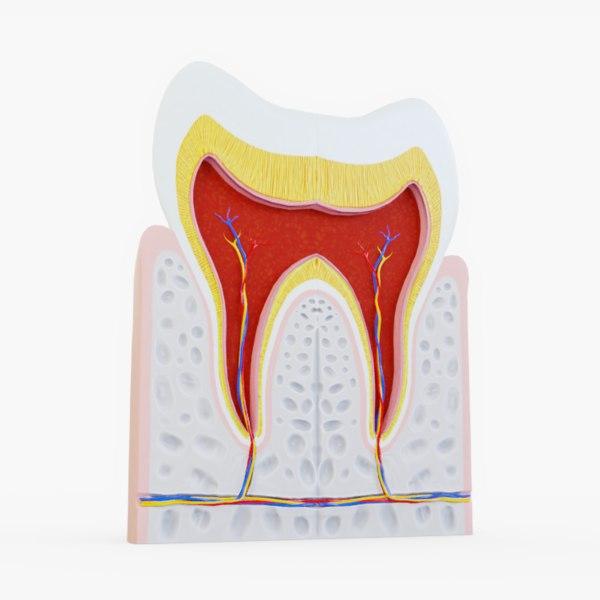 3D human tooth