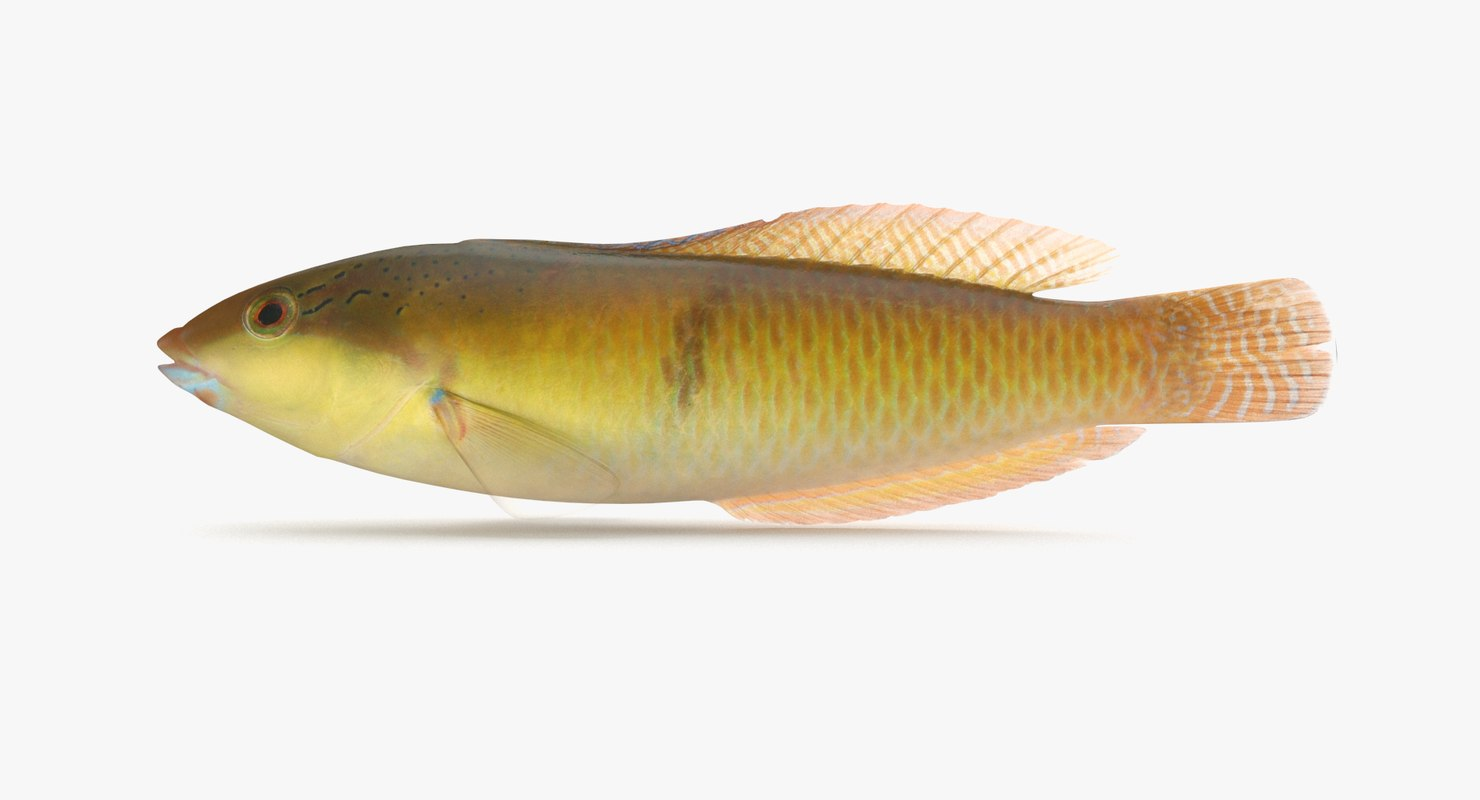 yellowhead wrasse 3D