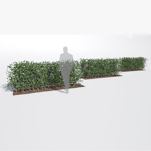 fagus sylvatica hedge small 3D model