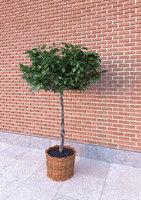 Ratan pot plant tree