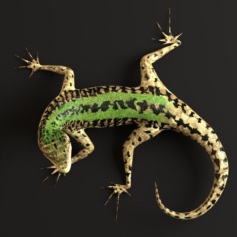 italian podarcis sicula lizard model