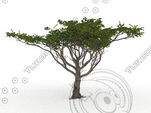 3D acacia faidherbia albida