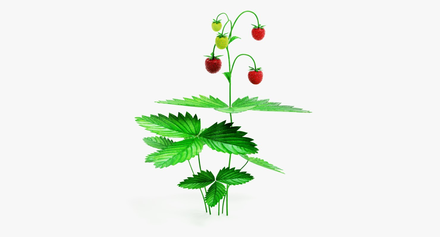 Wild Strawberry Plant Pictures